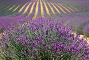 Lavender- A Beautiful Herb